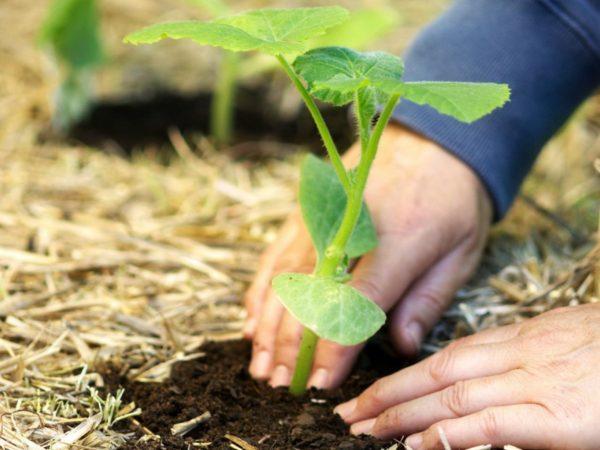 когда замачивать семена тыквы на рассаду