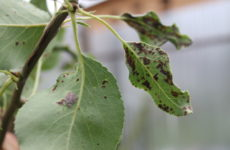 болезни груши
