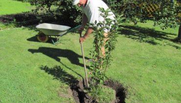 Когда и как посадить грушу правильно