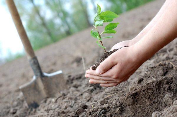 Когда весной сажать деревья? Как правильно сажать деревья весной?