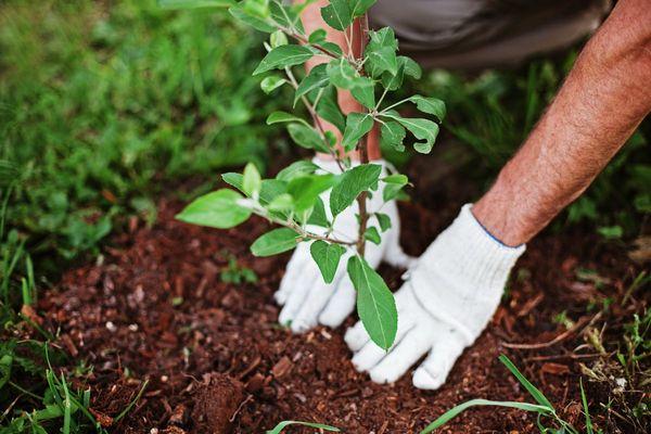 Когда лучше сажать саженцы плодовых деревьев