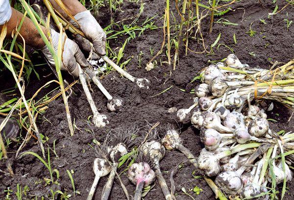 Когда убирать чеснок, посаженный под зиму на Урале