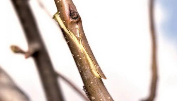 срез черенков деревьев
