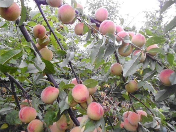 Как привить персик на миндаль