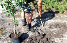 Посадки яблонь