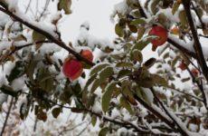 Листья яблони зимой