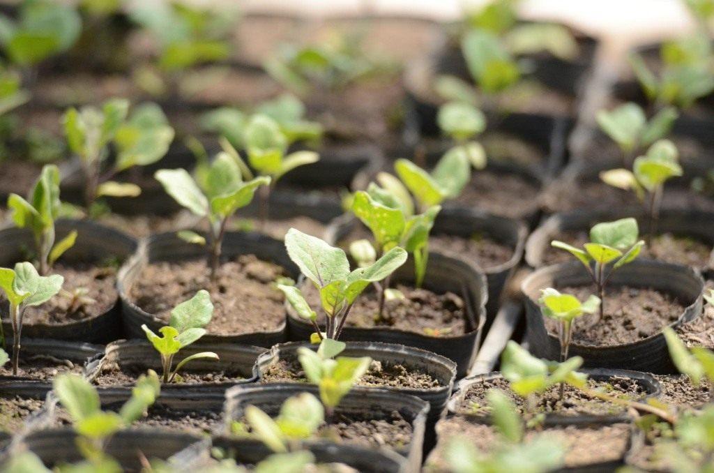 Когда сажать баклажаны на рассаду в 2020 году в Ленинградской области: климат региона, благоприятные дни для посева и особенности выращивания