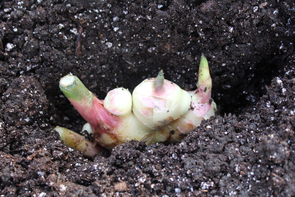 Можно ли вырастить имбирь на даче в открытом грунте и как это сделать