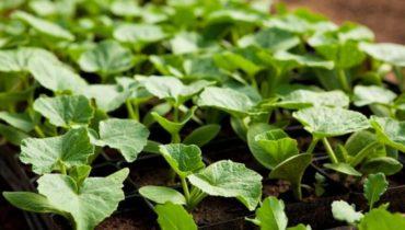 Когда сажать кабачки на рассаду в 2020 году в Подмосковье: особенности климата, благоприятные дни для посева и ухода