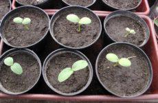 Когда сажать арбузы и дыни на рассаду в 2020 году: выбор благоприятных дней, влияние региона и советы по выращиванию