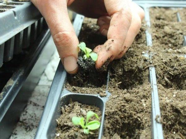 выращивание перца в феврале