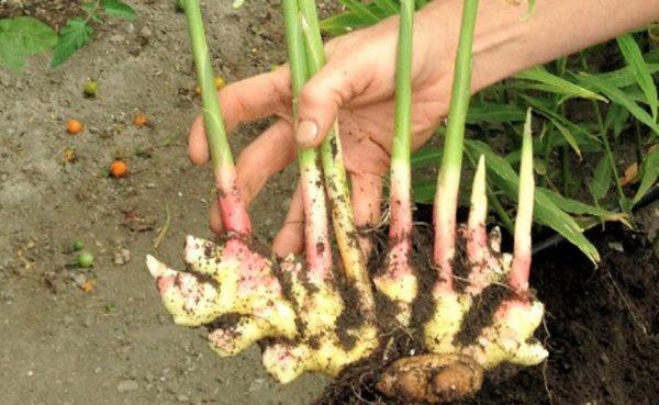 особенности выращивания имбиря