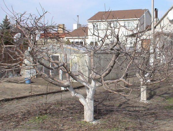 как омолодить яблони