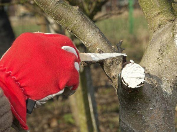 уход за срезом на дереве