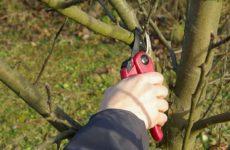 Как обрезать молодую яблоню