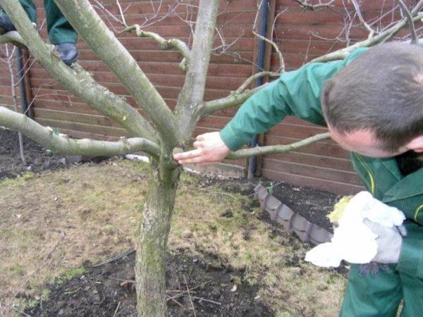Как правильно обрезать молодую яблоню осенью