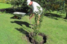садим яблоню