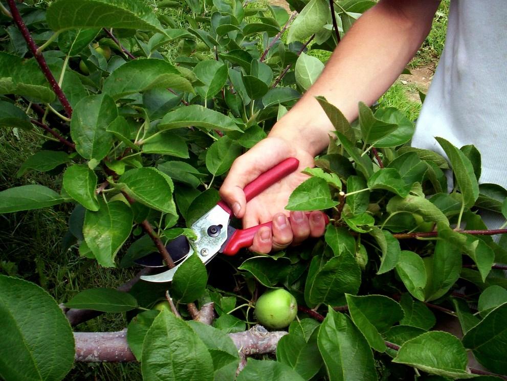 Омоложение яблонь путём обрезки