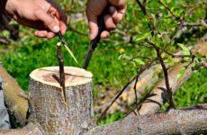 Как и когда правильно привить яблоню