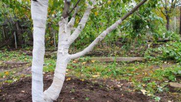 Укрыть яблоню на зиму