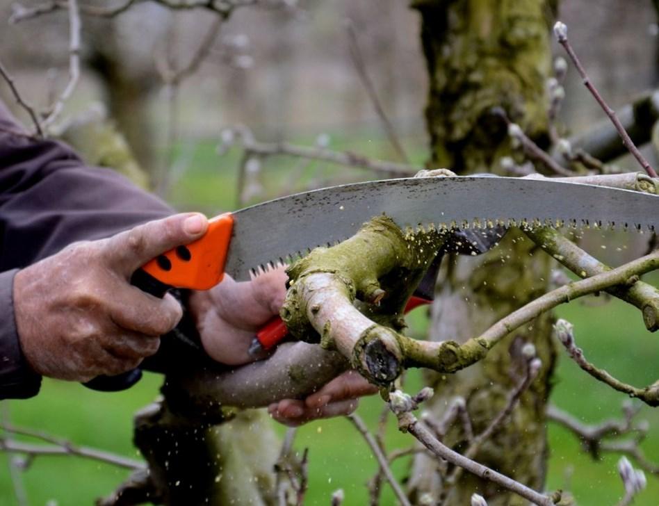 Как обрезать старую яблоню осенью