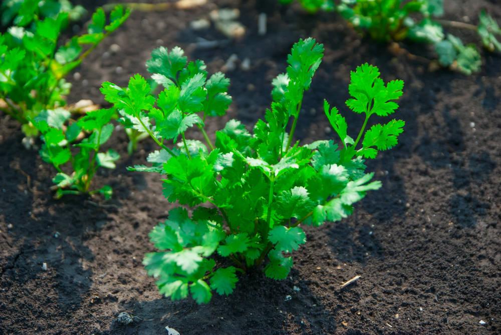 Выращивание кинзы в открытом грунте: как и когда сеять кориандр под зиму