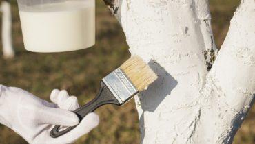 Побелка деревьев осенью: состав, когда, чем и при какой температуре белить