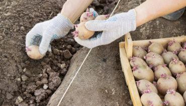 Когда сажать картофель в Подмосковье в 2020 году: благоприятные дни с учетом климата региона и фаз луны
