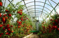 Лучшие сорта томатов на 2020 год для теплиц в Подмосковье: советы по выбору помидоров, особенности выращивания, наименования и описания сортов