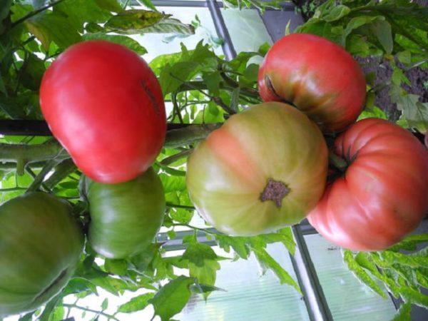 Лучшие сорта томатов для подмосковья в теплицах