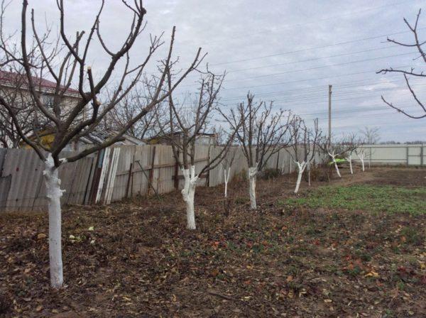 фото побеленных яблонь