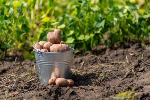 ведро подготовленной к посадке картошки