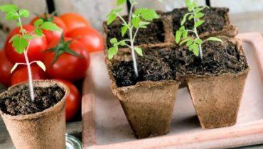 Когда садить помидоры на рассаду в Украине