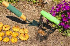 Когда сажать гладиолусы в открытый грунт весной