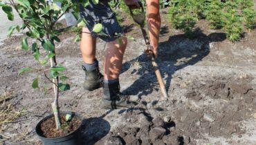 Особенности и правила посадки яблони