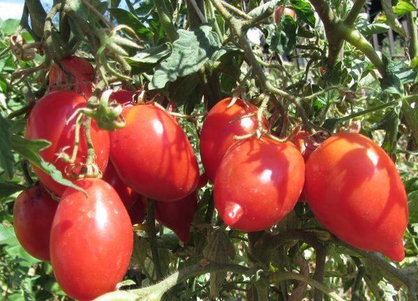 сорт томатов легенда