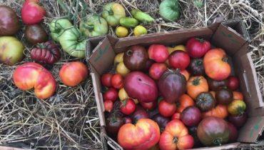 Семена томатов от коллекционеров