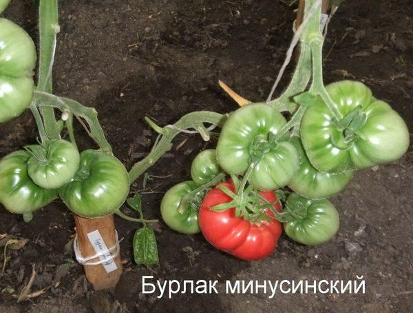 сорт томатов бурлак Минусинский
