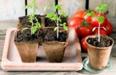Сроки посадки помидор на рассаду в Средней полосе России