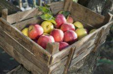 Как хранить яблоки на зиму