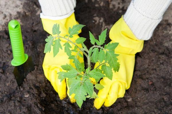 Когда можно высаживать рассаду помидоров в теплицу из поликарбонат
