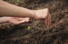 Когда сеять петрушку и укроп в открытый грунт весной